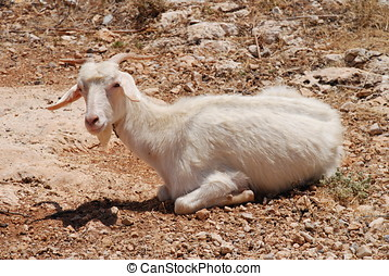 White farm goat, Halki island - A white goat lying in a...