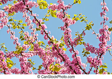 Judas Tree Flower And Leaves
