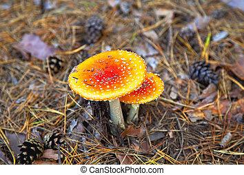 Amanita poisonous mushroom in coniferous pine forest Autumn...