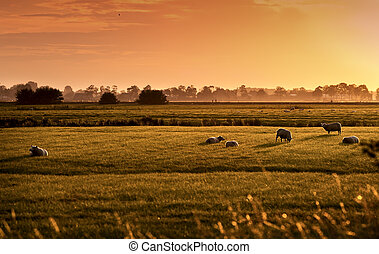 Dutch pastoral at sunrise - sheep on Dutch pastoral at...