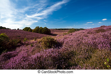 flowering heather on hills - flowering pink heather on hills...