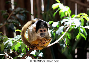 Common Marmoset (Callithrix jacchus jacchus) sitting on a...