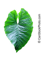heart shaped leaf on white