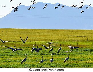 Blue Crane - Flock of Blue Crane birds on rural grasland