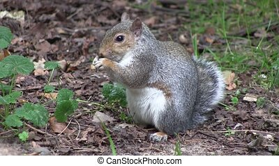 Grey squirrel eating from its paws.