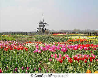 Tulips with a mill in the spring of The Netherlands.