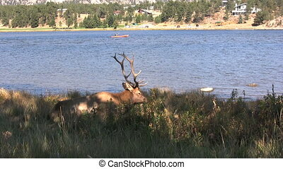 Bull Elk Bedded along Lake - a bull elk bedded next to a...