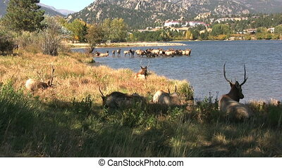 Bull Elk at Lake - a bull elk next to a mountain lake