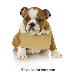 puppy with a message - english bulldog puppy with a sign...
