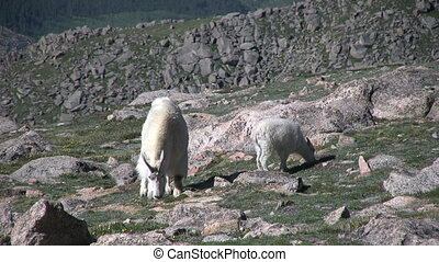 Mountain Goat Nanny and Kid - a mountain goat nanny and her...