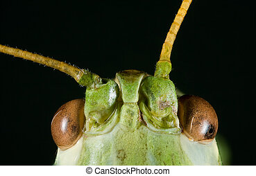 Green Cricket Head