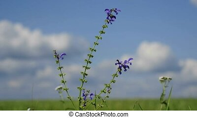 meadow sage with blue sky