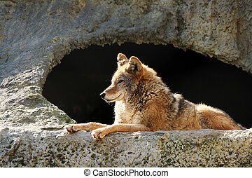 Solar wolf - The wolf brightly shined by the sun lays near a...
