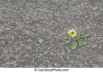 Flower on dry soil - Single yellow flower surviving drought...