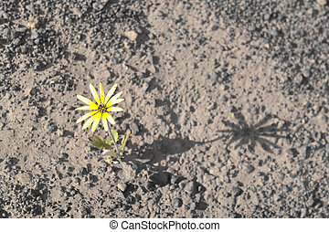 Flower surviving drought - Single yellow flower surviving...
