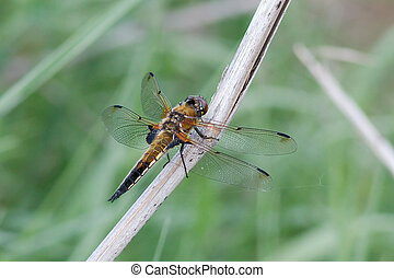 Dragonfly is sitting on reeds