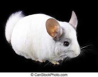 White ebonite chinchilla on black background