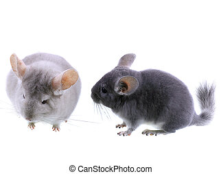 Couple of gray ebonite chinchilla on white. - Couple of gray...