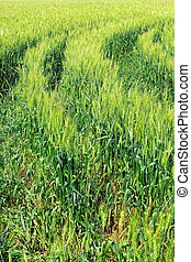 Field of green rye - Field of green rye and tractor trace...