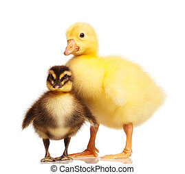 Domestic duckling and gosling - Cute domestic duckling and...