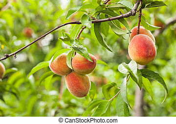 Peaches on a tree branch closeup in the orchard