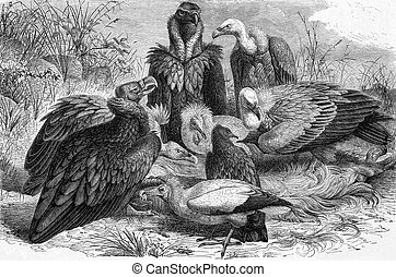 Vultures on engraving from 1890. Engraved by Carl Jahrmargt...