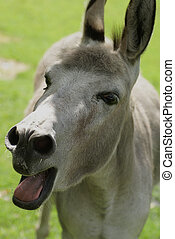Bleating donkey. - A bleating donkey making noise.