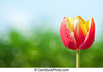 Tulip on spring background