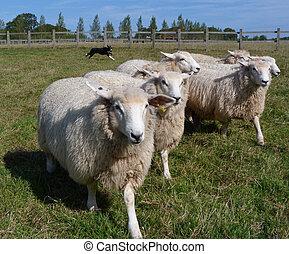 Romney, ovelha, sendo, trabalhado, por, Um, Collie