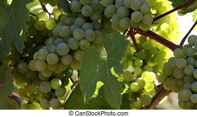 Winery Grapevines with Grapes - Closeup of Winery Grapevines...