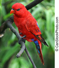 Lory. - A fully grown Lory.