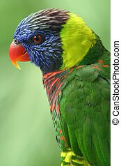 Lory - A fully grown Lory.