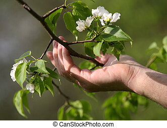 Apple tree blossoms in a hand of the elderly person