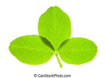 Trefoil - Detail of a trefoil leaf blade of clover - macro