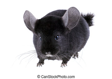 Black ebonite chinchilla on white background Isolataed