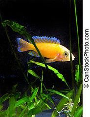 Aquarium Fish dwarf Cichlid-Aulonocara. - Aquarium Fish...