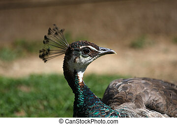 Peahen profile of head in afternoon sun