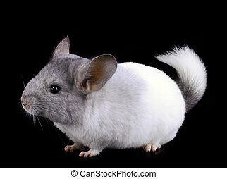 White ebonite chinchilla on black background.