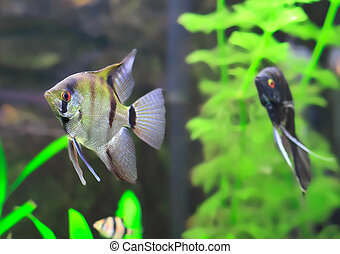 Aquarium Fish- Black and white Scalare - Aquarium Fish-Black...