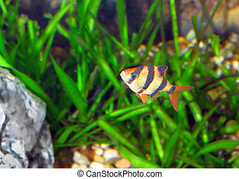 Single quarium fish-Barbus. (Barbus pentazona) - Single...