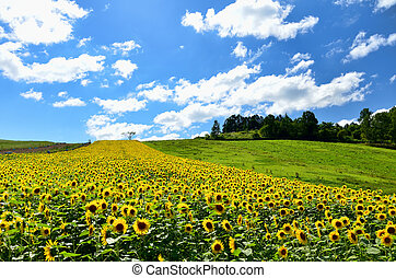 Landscape of Biei, Hokkaido The sunflower field on a hill
