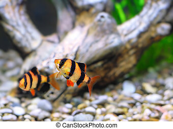 Shoal of aquarium fish-Barbus Barbus pentazona - Shoal of...