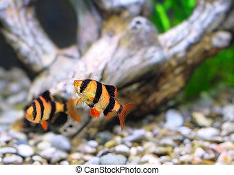 Shoal of aquarium fish-Barbus. (Barbus pentazona) - Shoal of...
