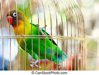 Lilian's Lovebird - Parrot  Lilian's Lovebird