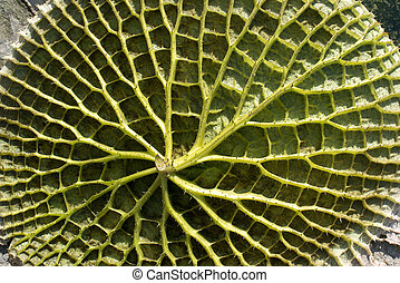 Water Lily From Below - Leaf of a huge water lily (Victoria...