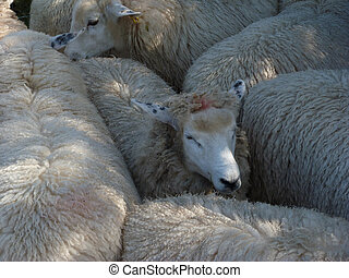A Flock of Romney Ewes