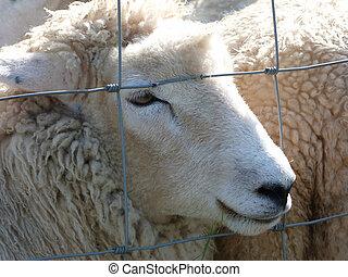 A Romney Ewe - A Romney Ewe