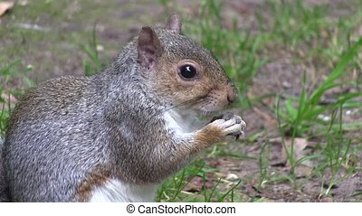 Grey squirrel eating from its paws. - Grey squirrel eating...