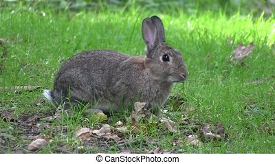 Rabbit nibbling grass in a wood, in England