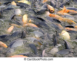 fish on the surface of water - fish eating on the surface of...